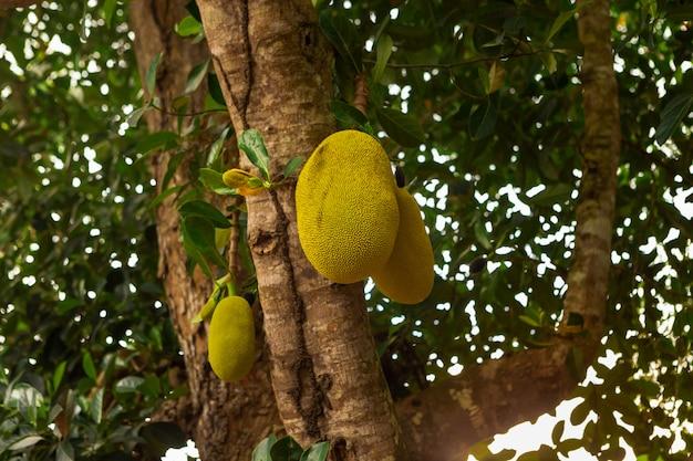 枝に新鮮なジャックフルーツ