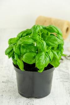 Fresh juicy green basil in a black flower pot