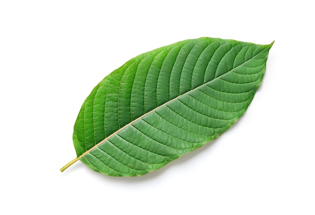 Fresh  kratom (mitragyna speciosa) leaf isolated on white background with clipping path.