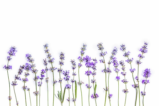 Fresh lavender flowers on a white background