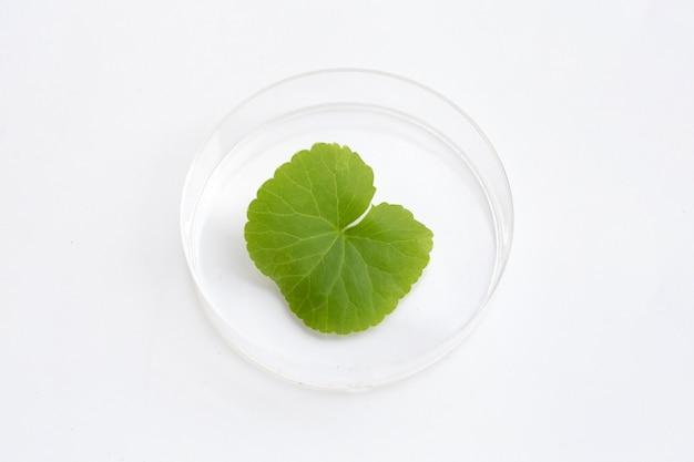 Fresh leaf of gotu kola in petri dish on white background.
