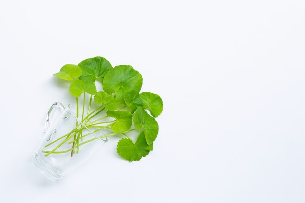 Fresh leaves of gotu kola in glass, herb and medical plant.