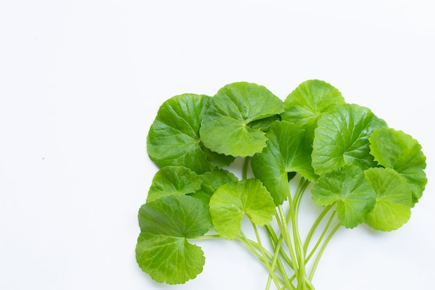 Fresh leaves of gotu kola, herb and medical plant.