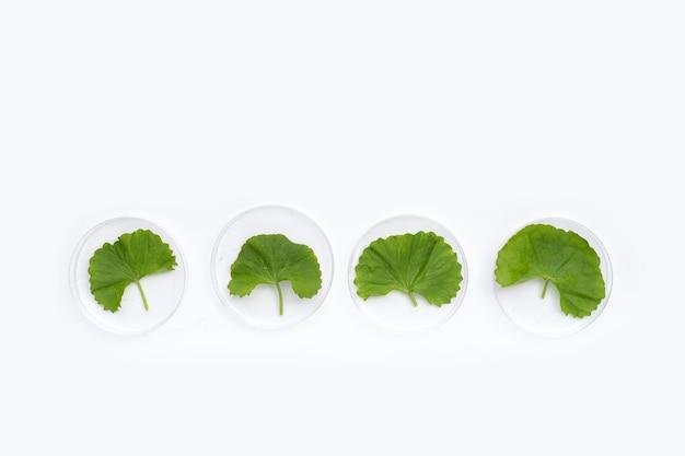 Fresh leaves of gotu kola in petri dishes on white background.