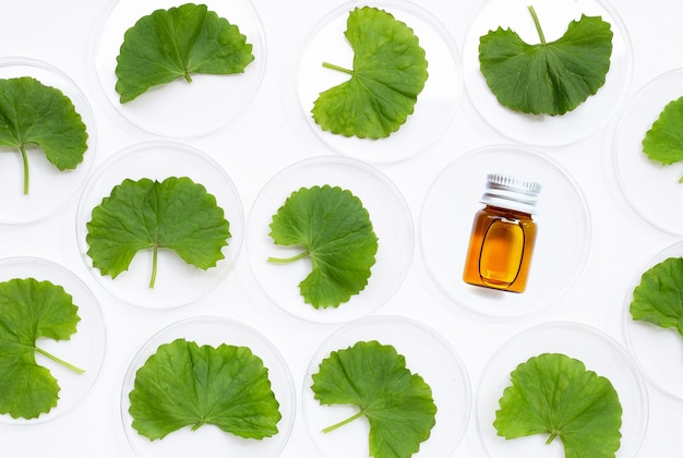 Fresh leaves of gotu kola in petri dishes with essential oil bottle on white background.