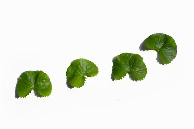 Fresh leaves of gotu kola on white background.