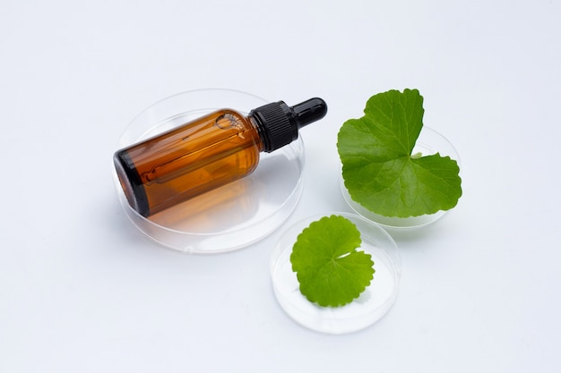 Fresh leaves of gotu kola with essentail oil bottle in petri dishes on white background.