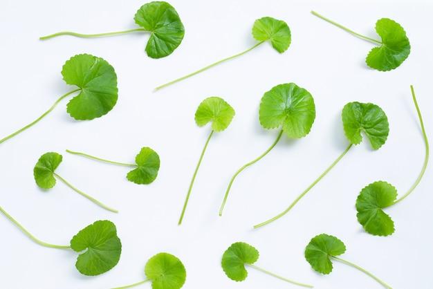 고투 콜라, 허브 및 약용 식물의 신선한 잎.