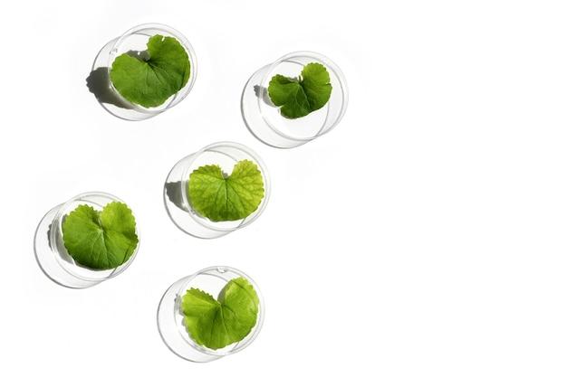 白い背景の上のペトリ皿のゴツコラの新鮮な葉。