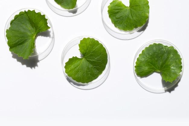 흰색 바탕에 페트리 접시에 고투 콜라의 신선한 잎.