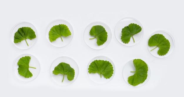 Свежие листья готу кола в чашках петри на белом фоне.