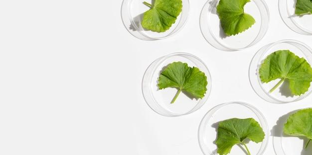 Свежие листья готу колы в чашках петри на белом фоне.