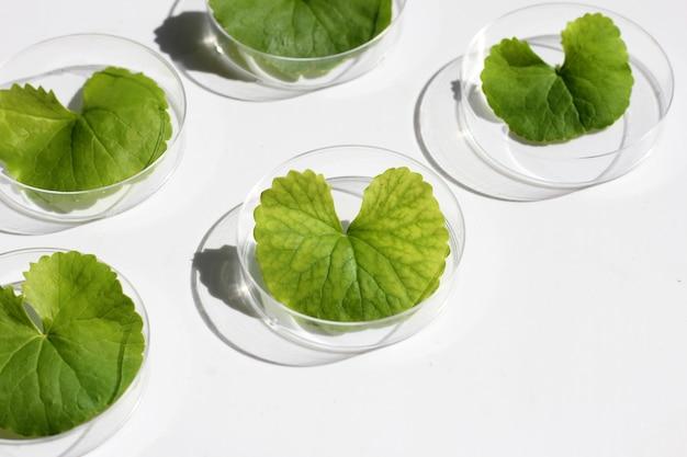 白い表面にペトリ皿に入れたゴツコラの新鮮な葉。