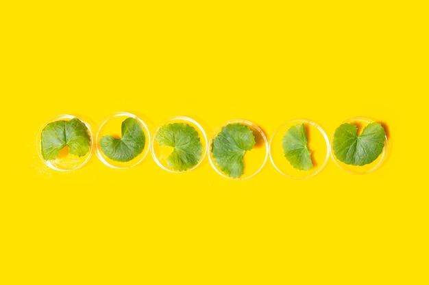 노란색 배경에 페트리 접시에 고투 콜라의 신선한 잎.