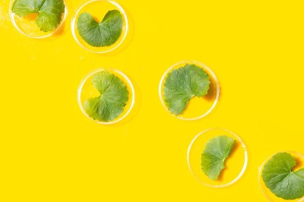 Свежие листья готу колы в чашках петри на желтом фоне.