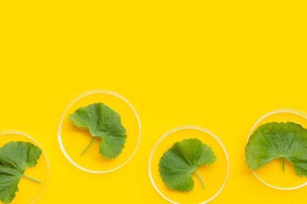 Свежие листья готу кола в чашках петри на желтом фоне.