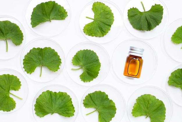 Свежие листья готу кола в чашках петри с бутылкой эфирного масла на белом фоне.