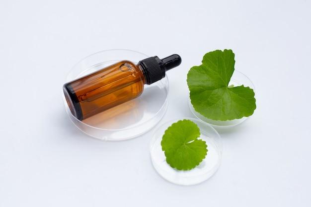 흰색 바탕에 페트리 접시에 에센테일 오일 병이 있는 고투 콜라의 신선한 잎.