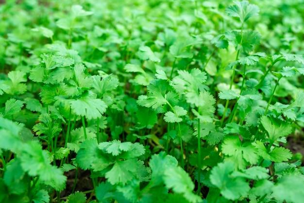 若いコリアンダーの新鮮な葉、新鮮な緑の野菜
