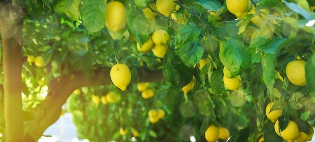 枝に新鮮なレモン