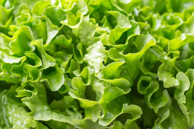 Fresh lettuce. fresh green leaves