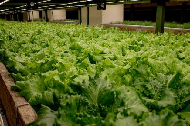 新鮮なレタスの葉、接写。、バターヘッド レタス サラダ工場、水耕野菜の葉。有機食品、農業、水耕栽培のコンセプト。