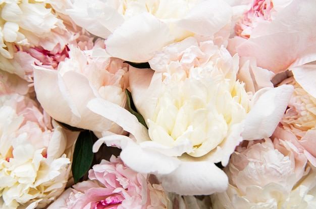 Fresh light pink peony flowers as a natural surface