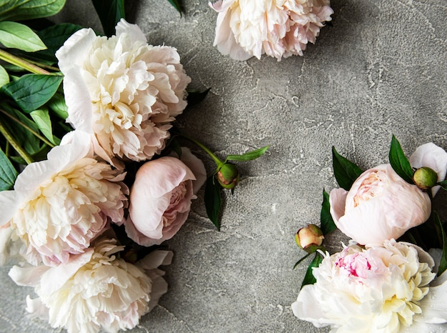 Fresh light pink peony flowers border with copy space on grey concrete  surface flat lay