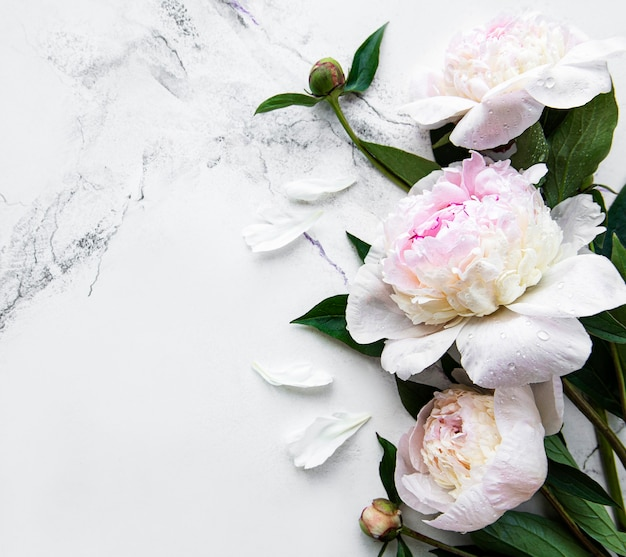 Fresh light pink peony flowers border with copy space on white marble  background flat lay