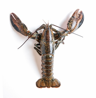 Fresh lobster isolated from
