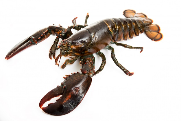 Fresh lobster isolated