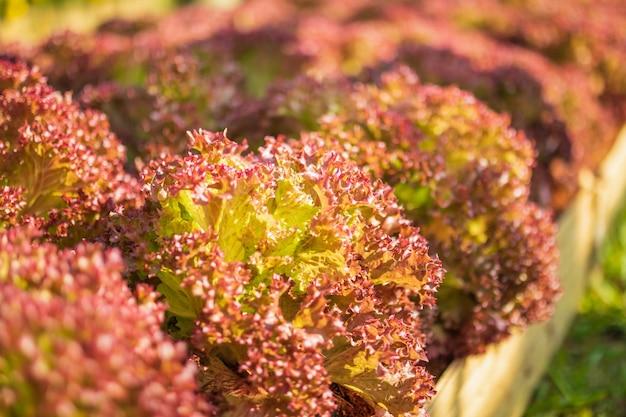 有機農場の新鮮なロロロッサ赤葉レタスサラダ植物
