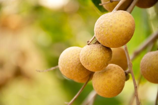 リュウガン農業農場で収穫する準備ができている緑の葉と枝にぶら下がっている新鮮なリュウガンの果実。