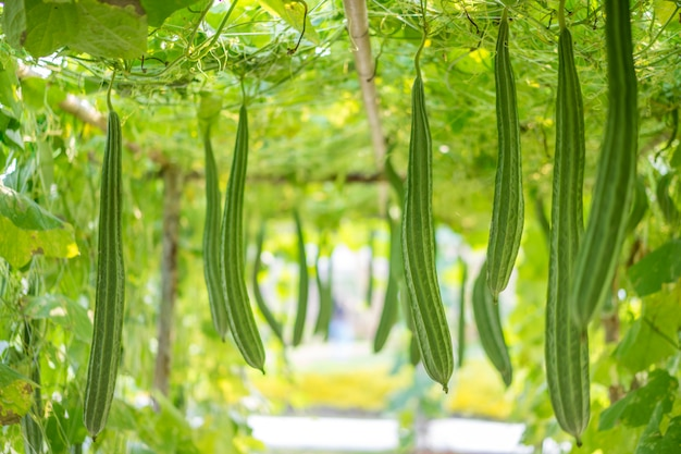Fresh luffa acutangula or angled gourd in a vegetable garden
