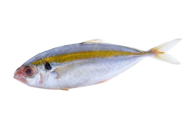 흰색 배경에 고립 된 신선한 고등어 생선