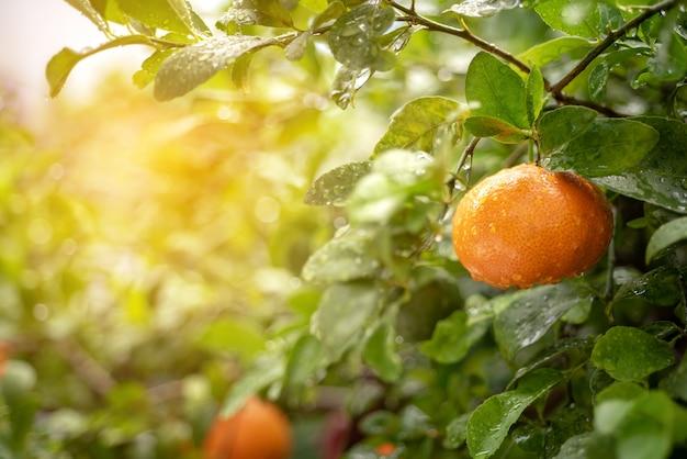 Fresh mandarin orange in the citrus plantation garden with copy space