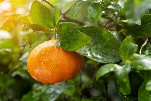 Fresh mandarin orange in the citrus plantation garden