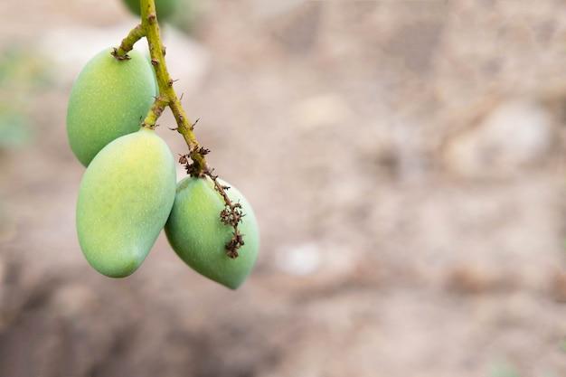 망고 나무에서 신선한 망고 과일