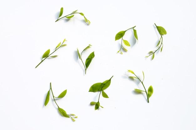 Свежие листья melientha suavis pierre на белой поверхности