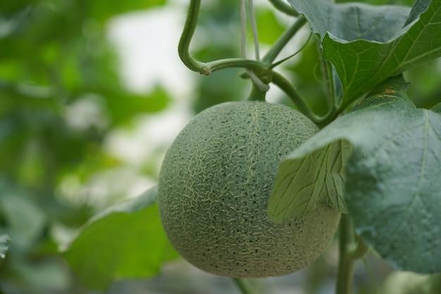 温室での新鮮なメロンの生育
