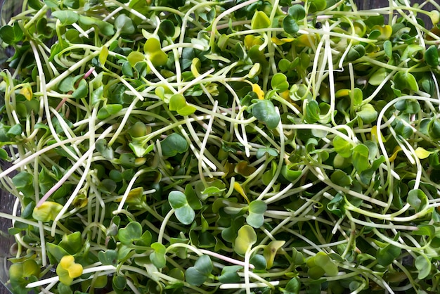 Fresh micro greens radish, sprouts for healthy salad.