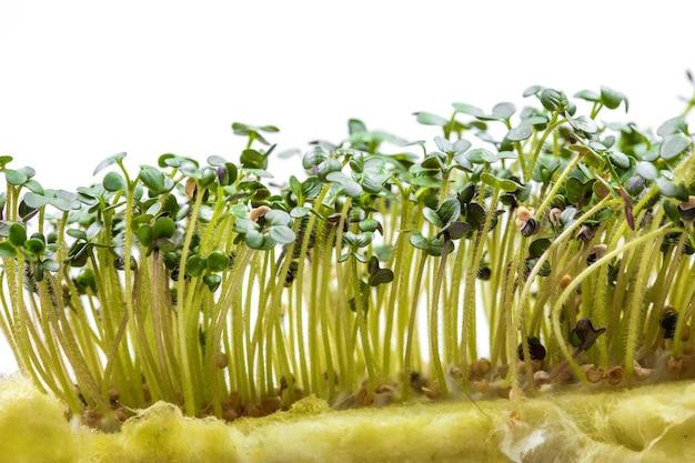 白い背景に分離された苗のための特別な基質上で成長しているシロガラシの新鮮なマイクログリーン。家庭菜園と屋内での緑の成長の概念。健康的な食事とライフスタイル。