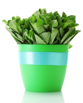 Fresh mint in flowerpot isolated on white surface