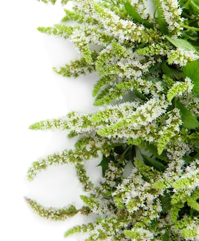 白で隔離される新鮮なミントの花