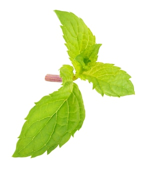 Fresh mint herb branchlet with fresh leavesisolated on white background