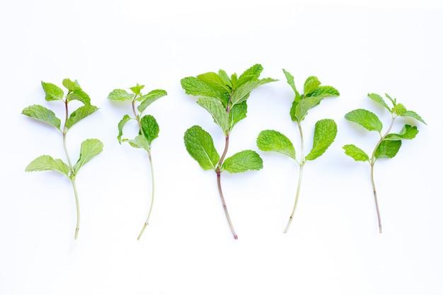 Изолированные листья свежей мяты
