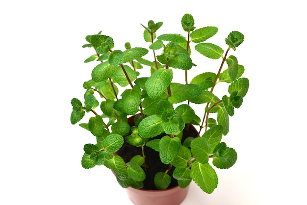 Fresh mint in a pot isolated on white background.