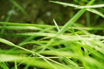 新鮮な朝の芝生