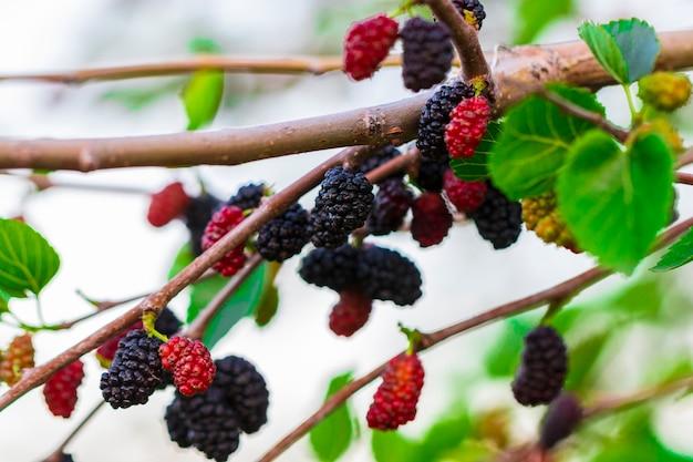 신선한 뽕나무, 검은색 익은 뽕나무, 붉은 설익은 뽕나무가 나뭇가지에 있습니다.