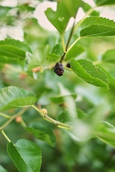 Fresh mulberry, black ripe mulberries on the branch of tree.